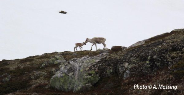 Where do reindeers go? Hardangervidda National Park faces the challenges of climate and human pressures